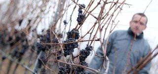 Ледяные вина Чехии
