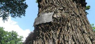 Самое старое дерево в Праге