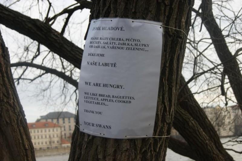 Лебеди в Праге - чем кормить