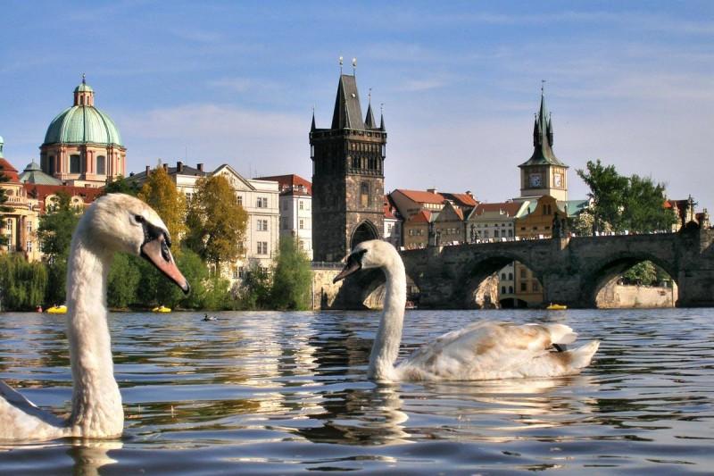 Лебеди в Праге 4