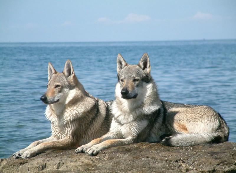 Чешский волчак 4
