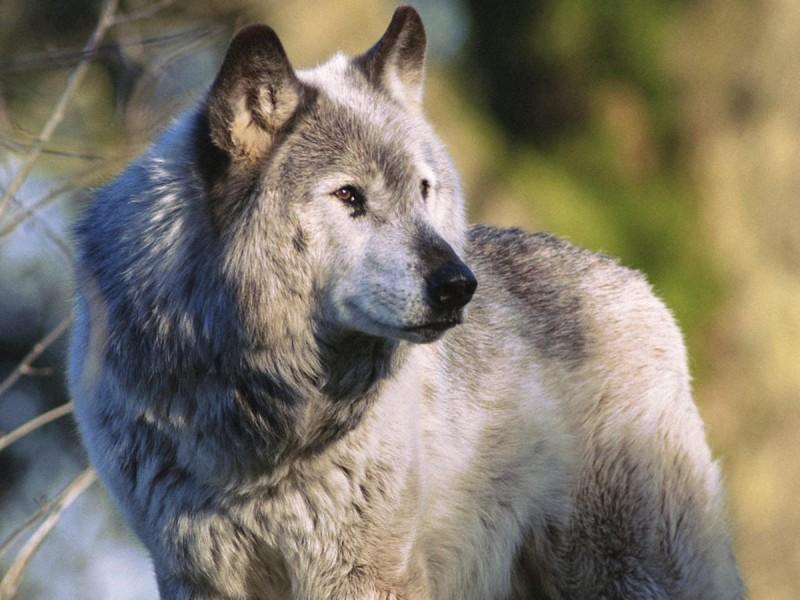 Чешский волчак 5